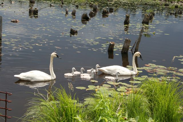 Swans at the George Langman Sanctuary